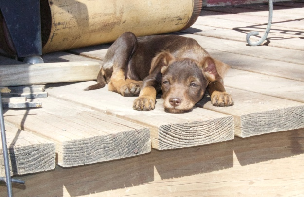 The small brown puppy tries to sunbathe on the front porch.