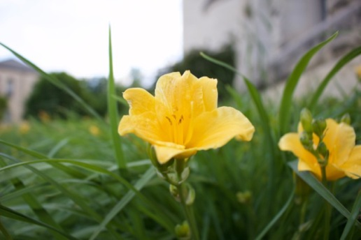 A flower grows in the grass along the southeast corner of Hale Library at Kansas State University in Manhattan, Kansas.